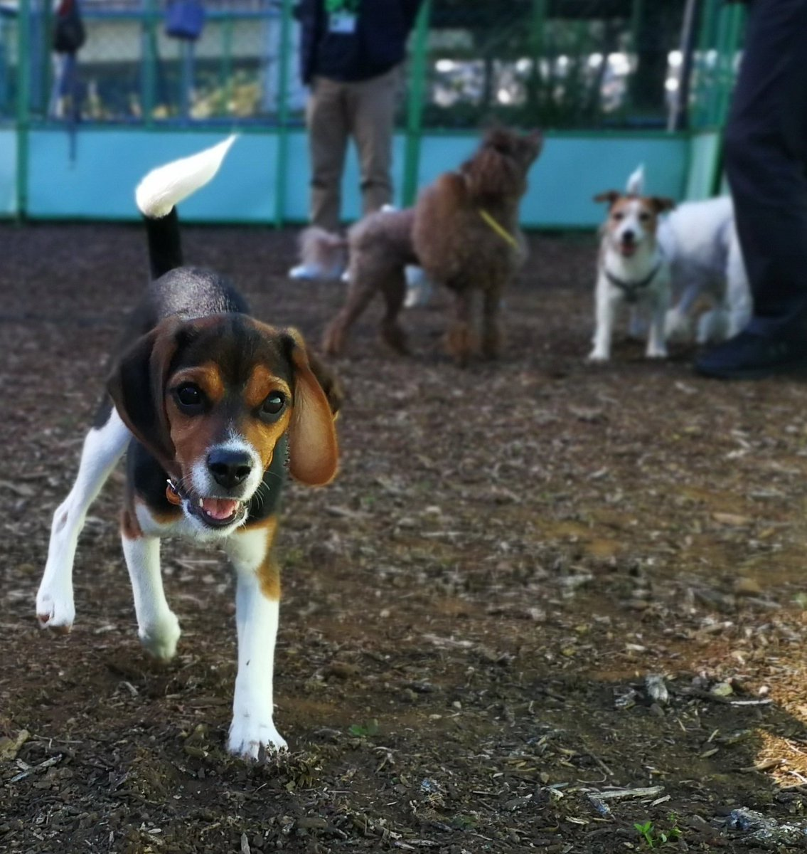 played with friends every morning during 3 day holiday 🐾   #dogparkfun #dogrun #dogsofinstagram #doglife #beaglepuppy #beagledog #beagleoftheday #beaglegang #beaglegirl #puppytime #hello #inu