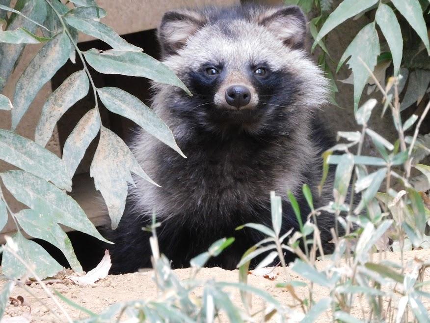 私じゃなくて子どもが撮ったのだけど、、、もしかしてテンちゃん?見たことない顔な気がするのですが。。。 #多摩動物公園 #たぬき山 #ホンドタヌキ #タヌキ