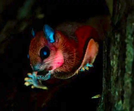 """Dr Darren Saunders on Twitter: """"There is a such a fascinating part of the story behind the discovery of fluorescent marsupials and monotremes that's not getting enough attention. It involves a torch-wielding"""
