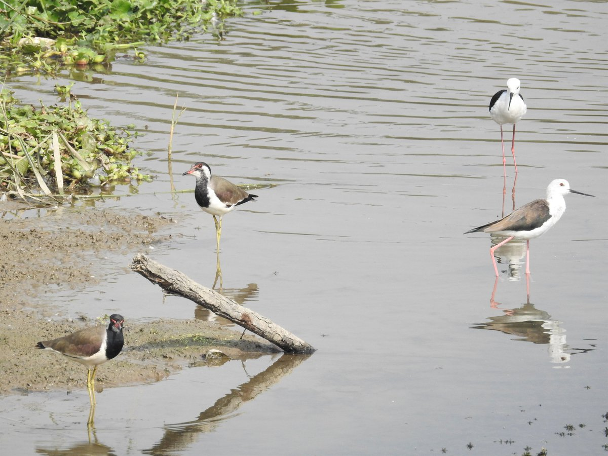 The Red-wattled lapwing, with its lovelorn 'tateri tateri' call. The Black-winged stilt with its long legs, standing quietly, contentedly, in the dirtiest of water. What is common today may not be common tomorrow. So, appreciate today! Slow down, for a moment. @neeleshmisra