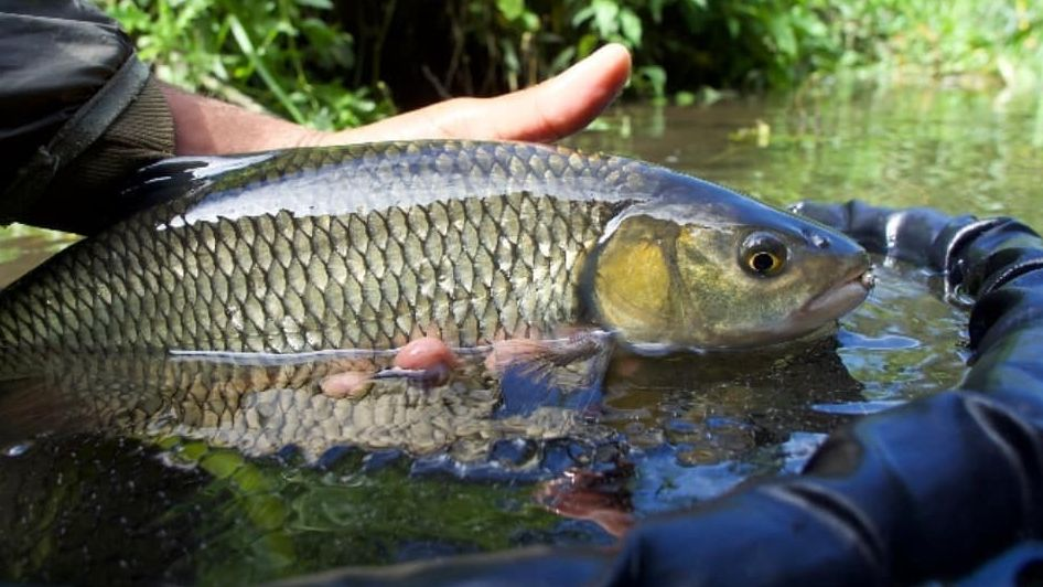 Check out this lovely chub taken from a Kentish chalk stream in the summer by Tim James. Realistically chub will be our main target this winter due to lockdown rules. Make sure you tell us of your lockdown escapades! 🎣 #OrvisFlyFishing #OrvisUK #Adventure #WinterFishing https://t.co/6L3lQRUvhb