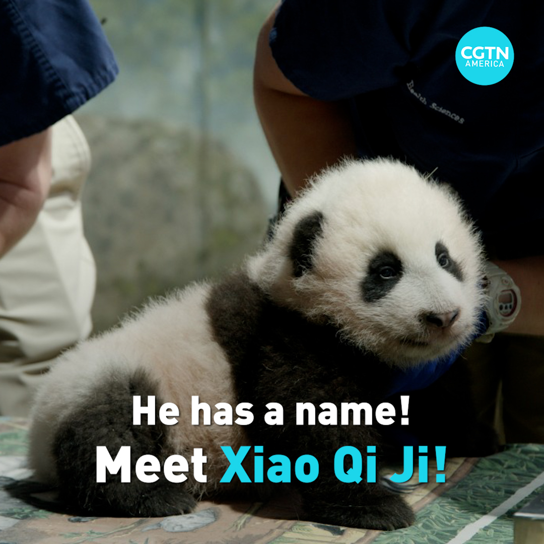 """The Smithsonian's National Zoo's 3-month-old giant panda cub received his name today, after over 135,000 people voted online. Meet Xiao Qi Ji, which translates to """"little miracle."""""""
