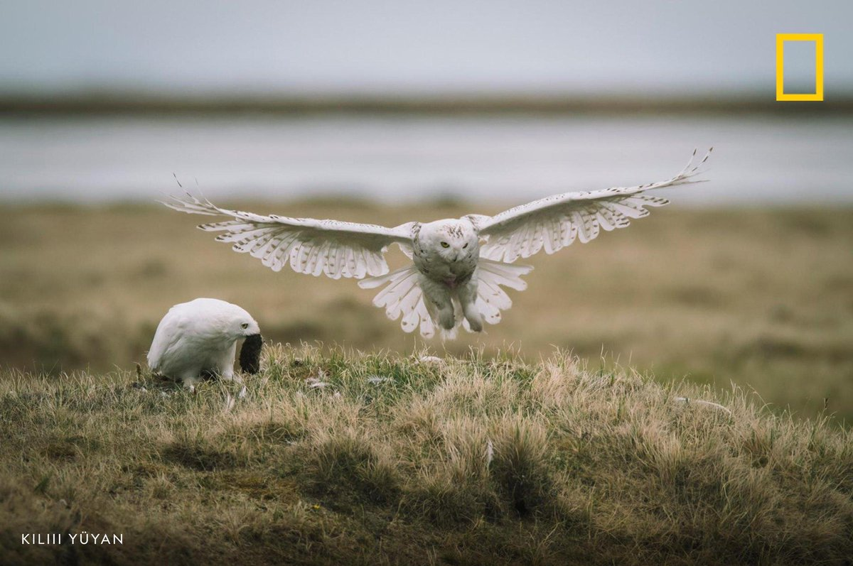 A female snowy owl lands at its nest as its mate watches, holding a lemming captured for its nestlings. Read more about Alaska's National Petroleum Reserve here: https://t.co/HERrrN9OPd https://t.co/2jg2Z0C74g