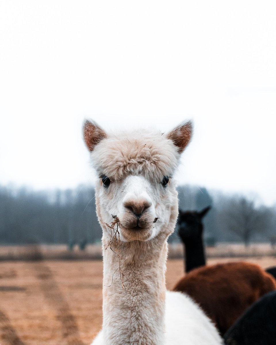 Hey, what's going on?! 🦙 @ Murska Sobota, Slovenia  #slovenia #photography #photooftheday #sony #wildlife #photographylovers #earthpix #roamtheplanet #travelphotography  #nakedplanet #SonyAlpha https://t.co/l10Fvwv2ts
