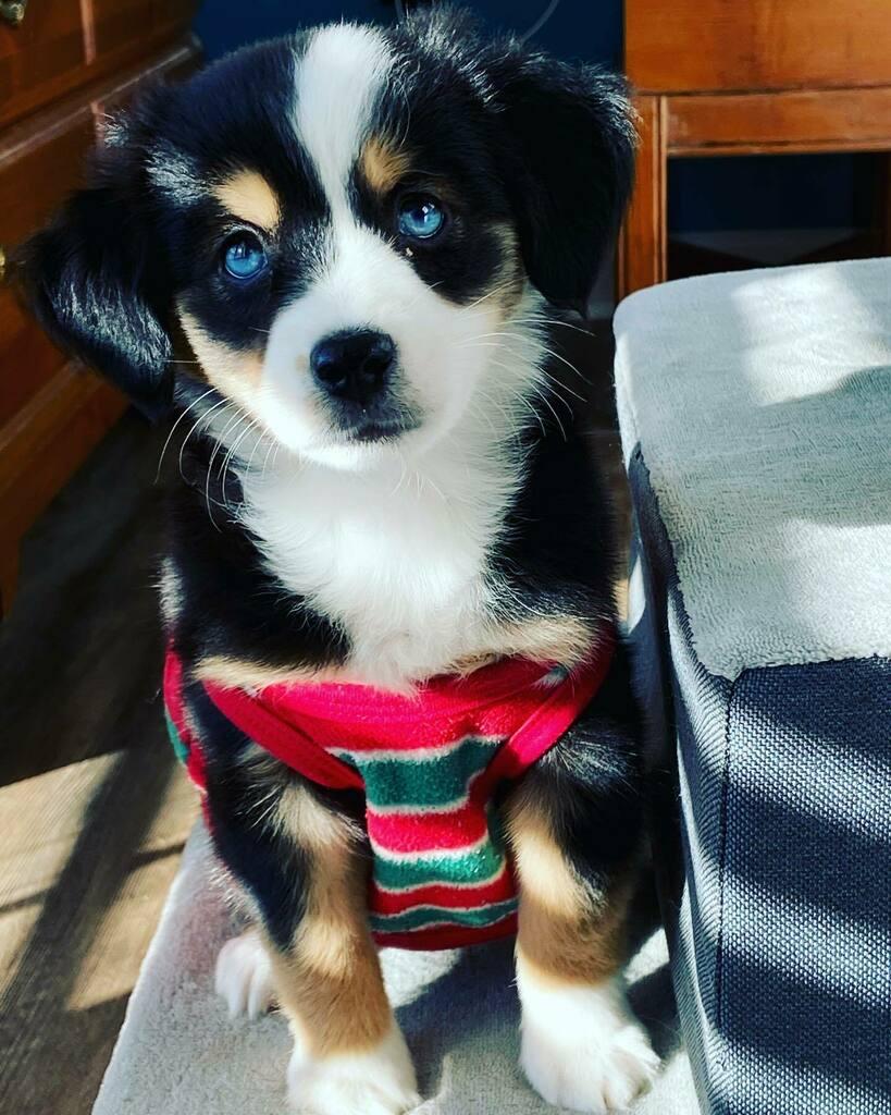 Hope this little ray of sunshine brightens your day!  ☀️ . ☀️ . ☀️ . ☀️ #aussiesofinstagram #miniaustralianshepherd #miniaussie #bossyaussie #puppylove #puppiesofinstagram #puppyoftheday #Skye