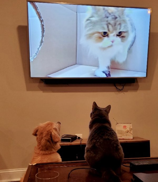 Liddy and Darcy have a new favorite hobby: watching youtube cat videos together. (Specifically, Kittisaurus/Cream Heroes)