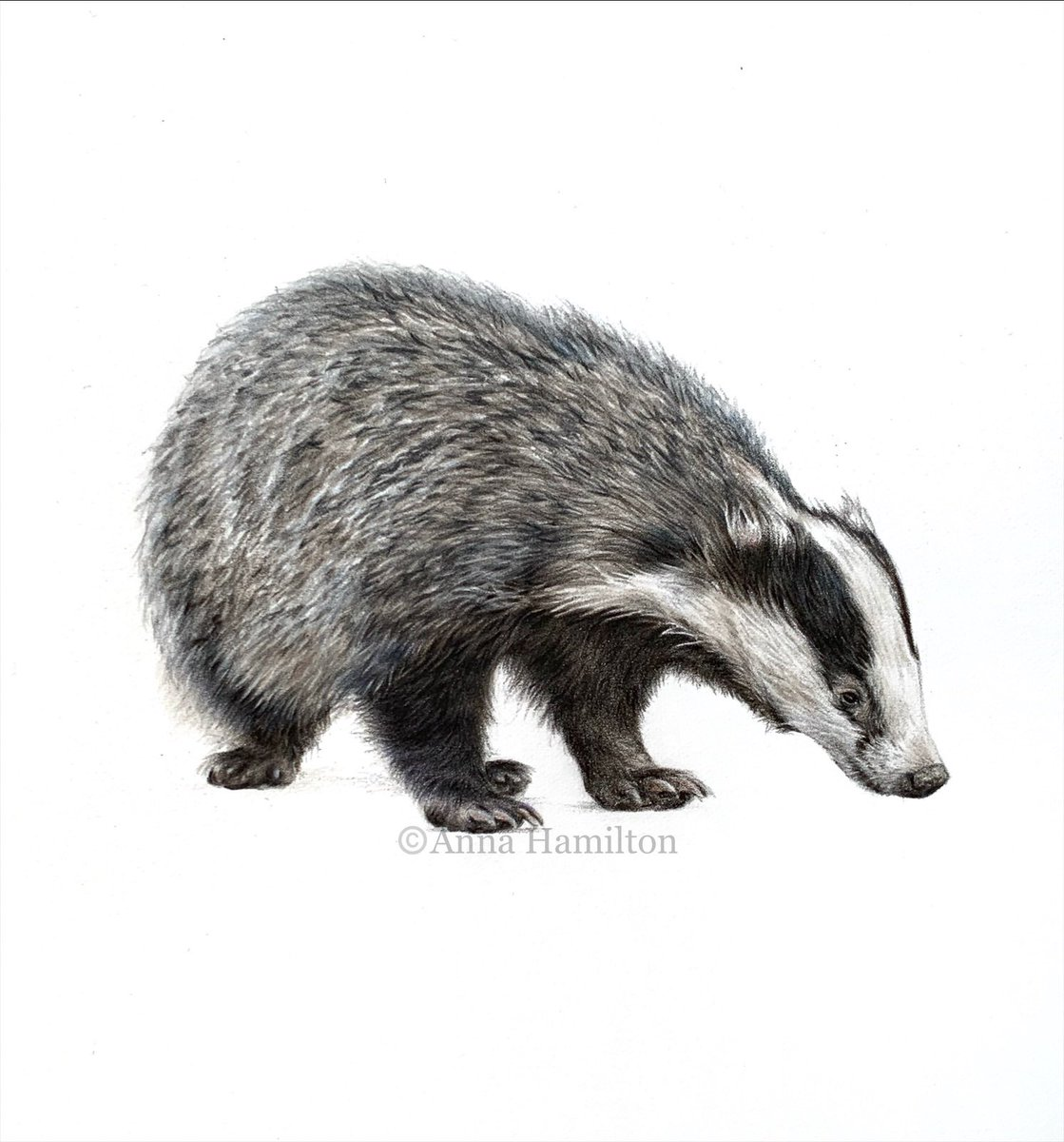 Gooood morning everyone, I was up early this morning and we have BLUE SKY 😍 so I'm feeling much more upbeat today.  Here's a gentle reminder of little Brock, whose limited edition prints are available on the website 💛    #badgers #animalartist