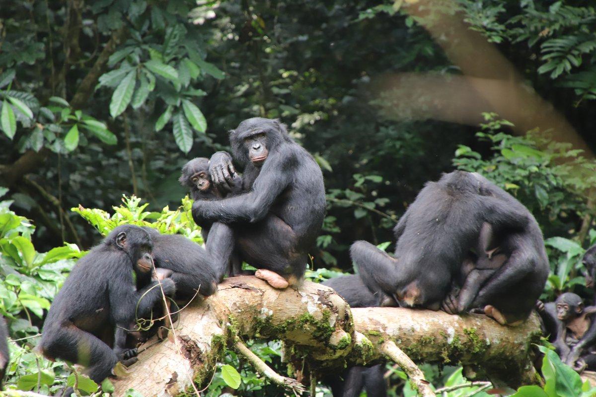 コンゴウェビナー第一回、今週末になりました!オンライン、参加無料です。コンゴってどんな国?ボノボってどんな動物?という方からコンゴ・ボノボマニアの方まで、ご参加お待ちしております。