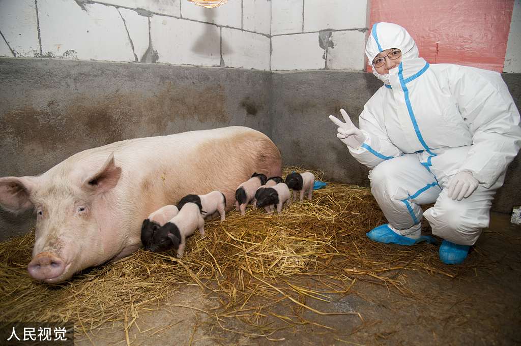 Cloned Jinhua pigs born in east China
