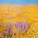 Image for the Tweet beginning: William Eggleston, Yellow Flowers, Hillside,