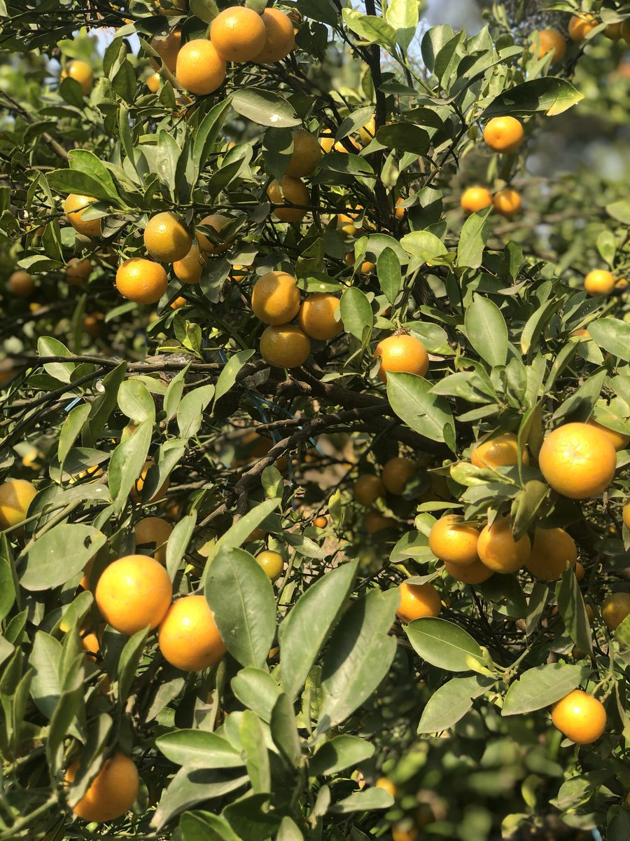 Mandarine or Tangerine, doesn't matter. What matters is that nature is ready to give us many citrus fruits to fight winters. #nature #citrus #fruits