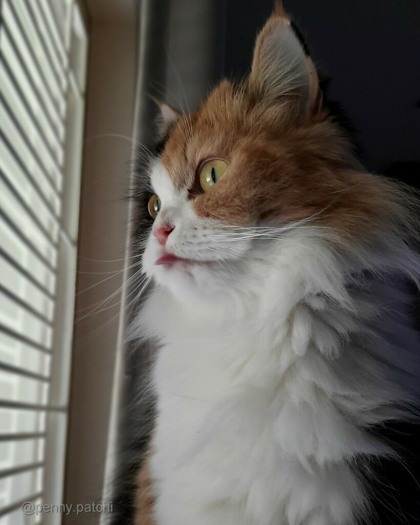 Penny #tongueouttuesday 😛😻 #tot #tongueout   #persiancat #calicocat #weeklyfluff  #fluffycat  #floof  #cat #catlovers #furbaby #cutecats #fluffy #instacats  #mycat #catsofworld #ilovecat #ねこ #gatosdeinstagram