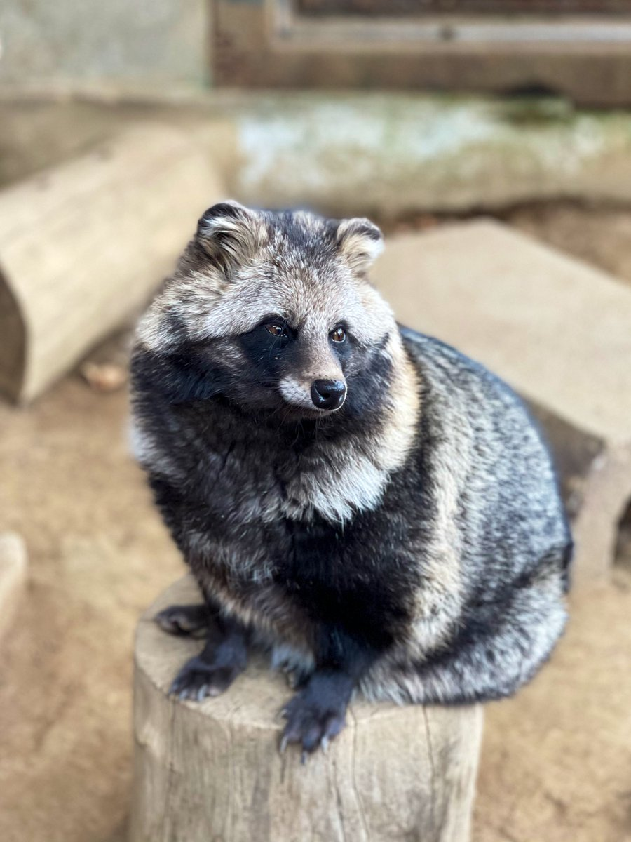 タヌ座りゲンマイ! #ゲンマイ #夢見ヶ崎動物公園 #ホンドタヌキ #タヌキ