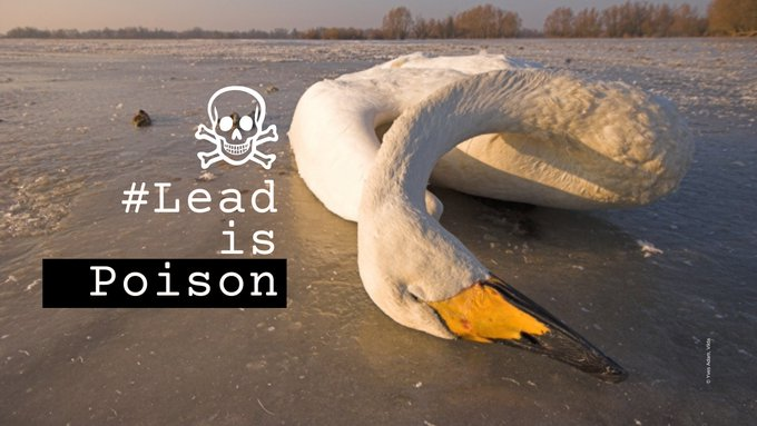 📢Final call to action: #LeadisPoison  ☠️🦢☠️ @EUparliament vote will take place at 20:00 tonight.  You still have time to tag your MEP and tell them to #BanLead and save nature, people & wildlife!