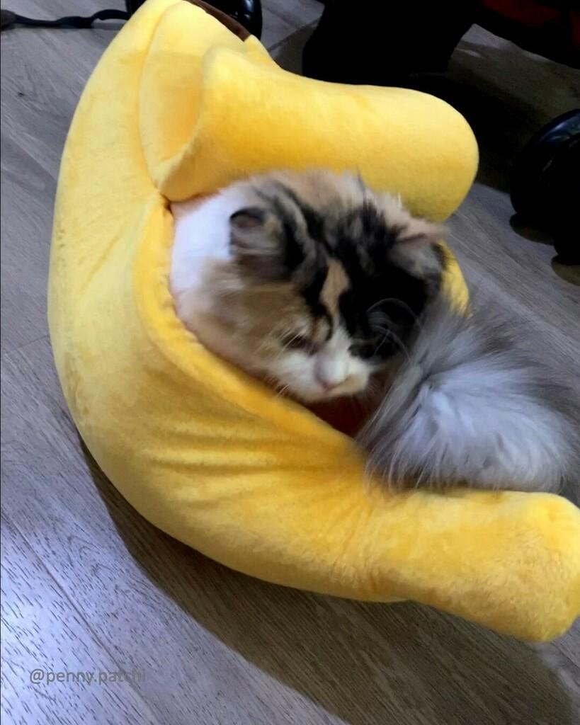 My new banana bed. Fit for my size. 🤣🥰  #persiancat #calicocat #weeklyfluff  #fluffycat  #floof  #cat #petstagram #furbaby #catsagram #catsagram #instacats  #catsofig #instacat_meows #excellent_cats #猫 #Кот #meowvswoof