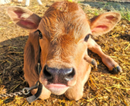 RT <a target='_blank' href='http://twitter.com/MsArzoo3'>@MsArzoo3</a>: Ms. Arzoo's third grade class has adopted...   A COW!   Everyone, meet Elsie: <a target='_blank' href='https://t.co/sQ5J2aKCyq'>https://t.co/sQ5J2aKCyq</a>