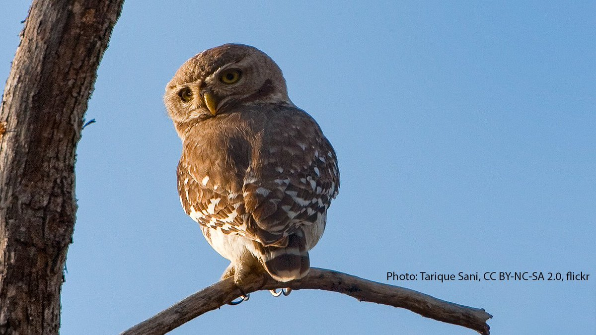The Forest Owlet was thought to be extinct until it was rediscovered in 1997—113 years after the last recorded sighting! It has a distinct rectangular head with bright yellow eyes and strong talons for catching large prey. It inhabits patches of forests across central India. https://t.co/38rL1Of3Gv