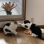「これは渡さない!」のパンチ!これが本物の猫パンチw