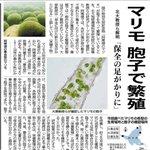Image for the Tweet beginning: 本日の北海道新聞より アッカンコ~ マリモ~  #Rihwa #MARIMO #阿寒湖 #マリモ