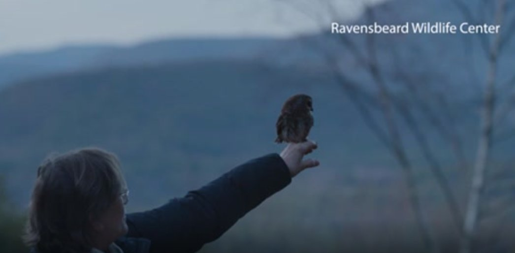 KICKER- ROCKY THE ROCKEFELLER CENTER CHRISTMAS TREE OWL RELEASED-VO TUE0302-A Northern saw-whet owl that stowed away and traveled 170 miles last week on the Rockefeller Center Christmas tree was released into the wild today at dusk.The small owl is affectionately known as Rocky. https://t.co/L9nvhxXmD8