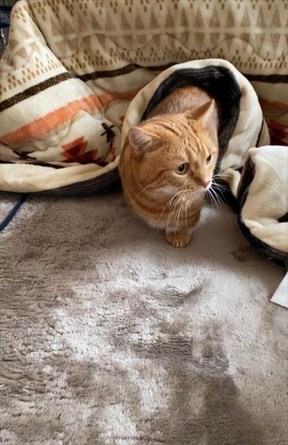寒い季節がやってきた!こたつでぬくぬくする猫きょうだいがかわいい