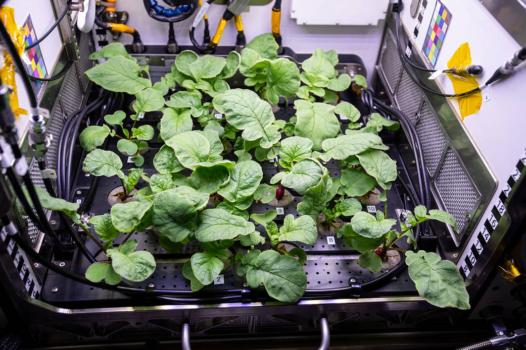 The Space Station radishes are coming along quite well!   (Credit: NASA Johnson)  https://t.co/14oNGmDK3P https://t.co/ibDloCNcWP