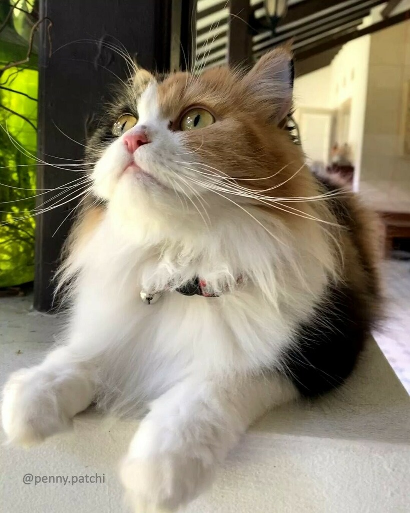Penny #whiskerwednesday ❤️  #persiancat #calicocat #weeklyfluff  #fluffycat  #floof  #cat #adoptdontshop #fluffy #catsagram #instacute #cutecats #mycat #cutepetclub #CatsOnInstagram #猫 #kedi  #COIBowTie #balous_friends #meowvswoof #instacat_meows #to…
