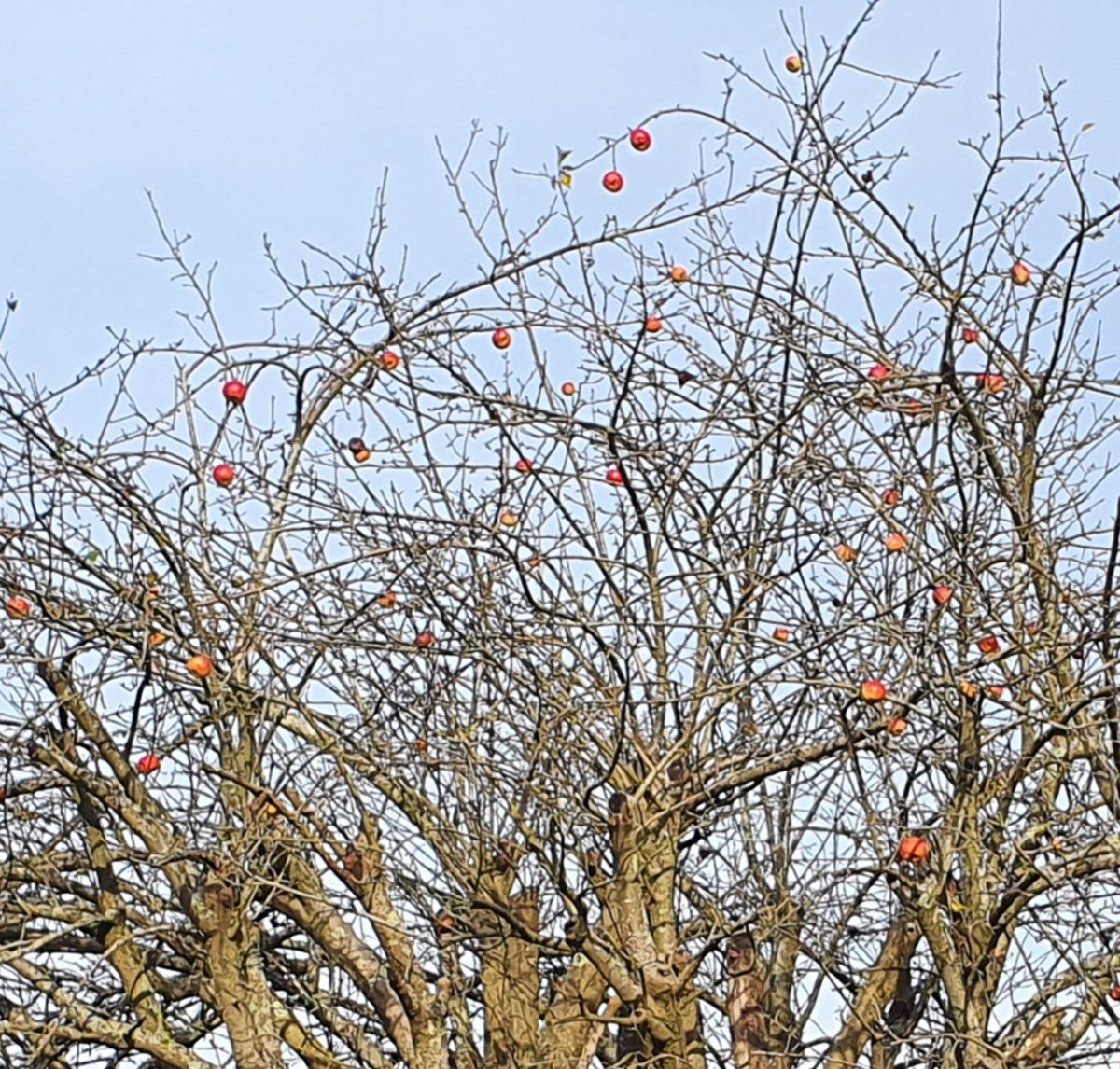 Natures Christmas decorations on this apple tree, seen out walking yesterday. Sunlight made the red really shine.  #Kent #Walk https://t.co/mAid5hzMAT