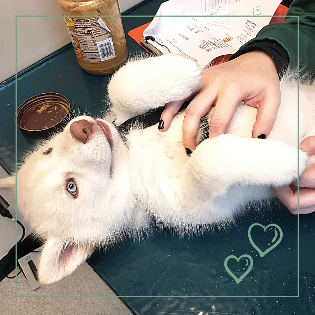 Sweet Schala, a 9-week-old Siberian Husky stopped in for her vaccines, but she let us know that she preferred to lay on her back and get belly rubs. #bothellpet #bothell #siberianhusky #puppy #puppiesofinstagram #vettechlife #vaccines #pethealth #woof https://t.co/YRcYWe9oaL
