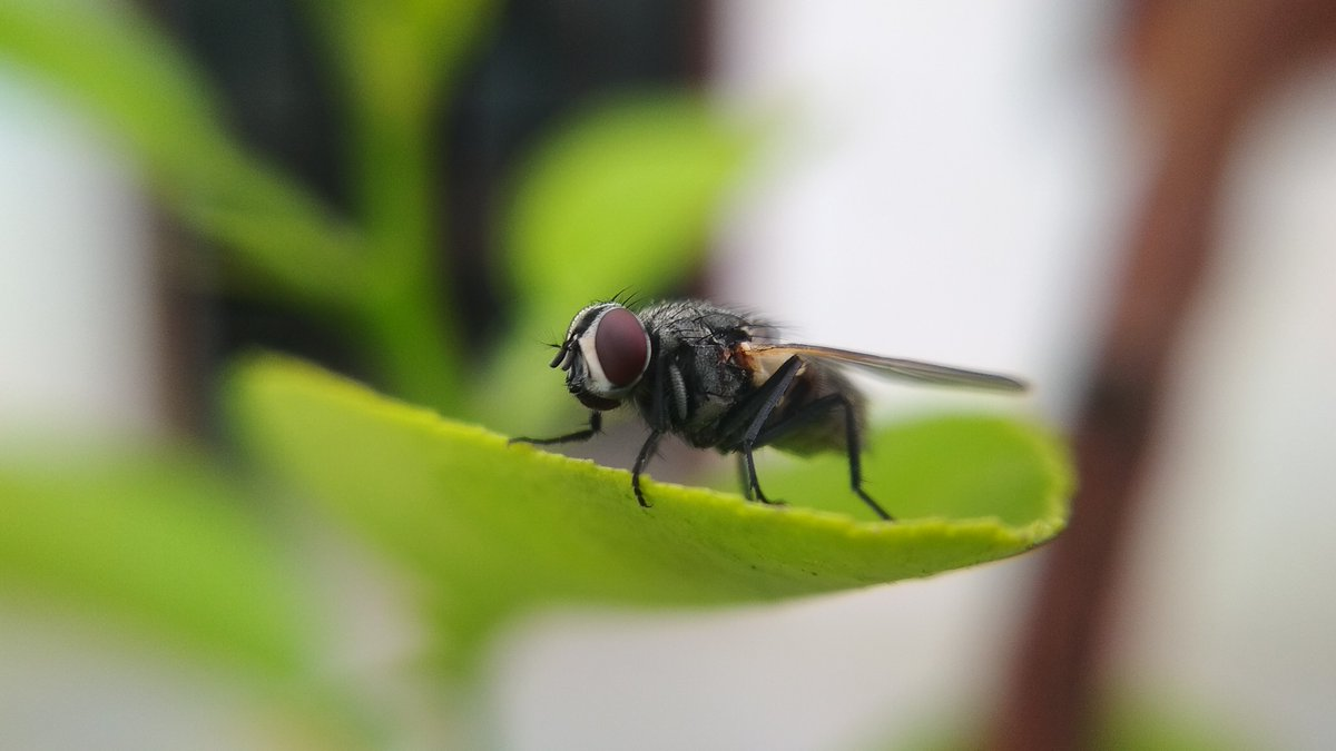 #DidYouKnow that houseflies use their antennae for hearing and smelling?   #WednesdayWisdom #IYS2020