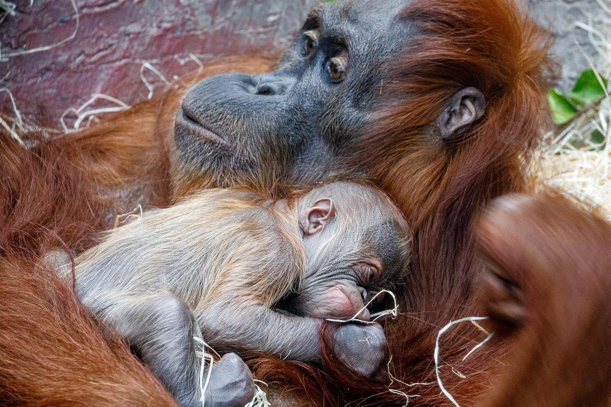 Prague zoo is celebrating captive breeding of Sumatran Orangutan. One of the critically endangered species they are endemic to North Sumatran islands and only few thousands are left in the wild. Via~@MiroslavBobek
