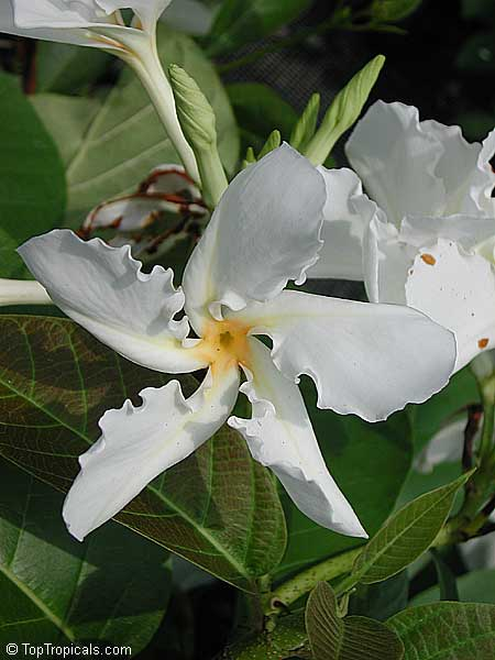 #Chonemorpha fragrans - #Frangipani vine is large-leafed vine sports large clusters of white blooms with a subtle fragrance. Superb flowers similar to Frangipani, propellor shaped, delicous rich scent.    #fagrantplants #floweringvines #WednesdayWisdom