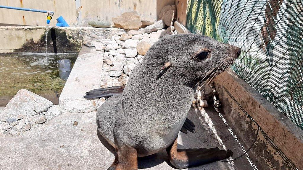 Ayer Sernapesca Los Vilos rescató una hembra juvenil de lobo fino en playa Agua de La Zorra, Huentelauquén. Se encuentra en buenas condiciones en el Centro de Rehabilitación de la @UCNorte.  Será reinsertada a su medio en pocos días. https://t.co/oxOuAvrRY3