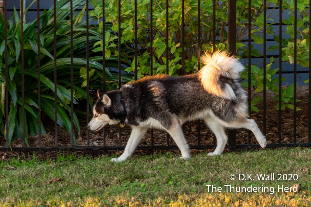 "Busy dogs like Landon know ""Don't be late.""  From Today's Story - Don't Be Late - https://t.co/5VzVQvVSLB  #dog #dogs #dogsofinstagram #siberian #sibe #siberianhusky #husky #huskies #huskylove https://t.co/pHGw49AN3J"