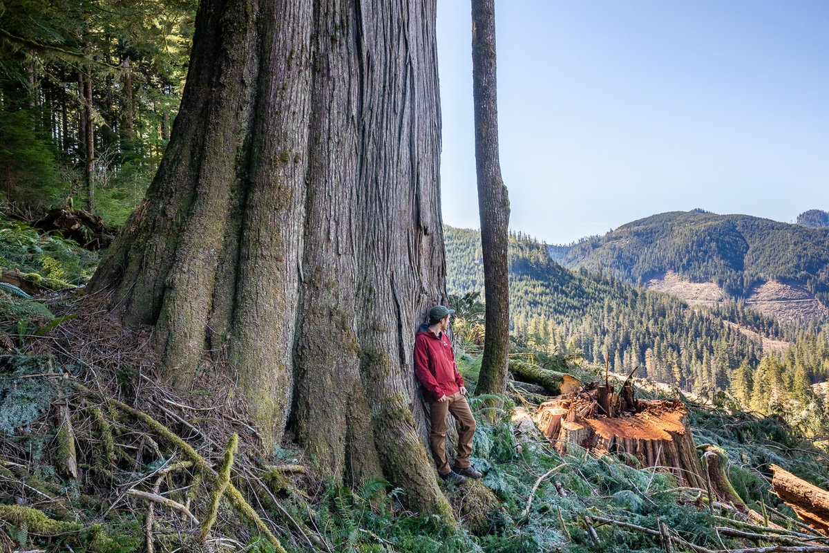 These irreplaceable, centuries-old cedars in the Caycuse valley (Ditidaht territory) - & the unique ecosystems they are an integral part of - were mowed down by Teal Jones Group, the largest privately owned logging company in BC. https://t.co/tltrNKaUVI