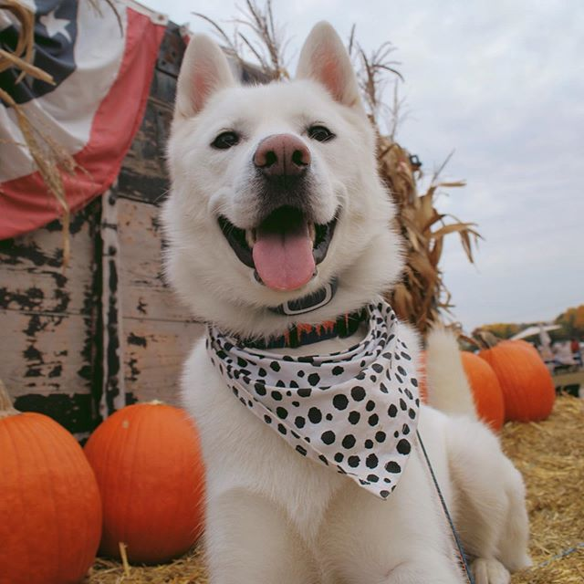Are you falling in love with this fall weather? We think Mason the #SiberianHusky is! #spotpetinsurance https://t.co/5vuYZojAV3