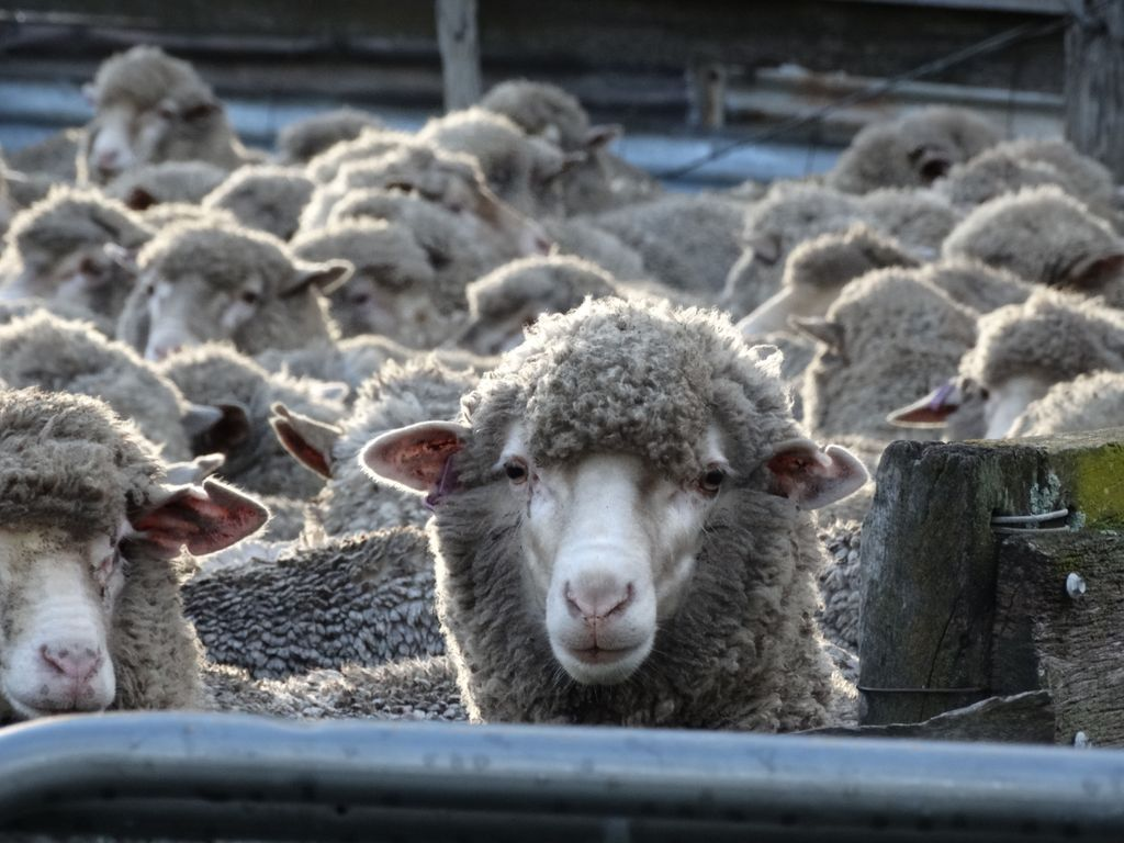 Recent rainfall has increased the risk of Barber's pole, brown stomach and black worms, which could become a problem for weaners and hoggets over summer. A reminder to drench in early December to maintain stock condition. https://t.co/1999hCBes0 @GGA_WA @sheepsback @korellup https://t.co/x76smV96ot