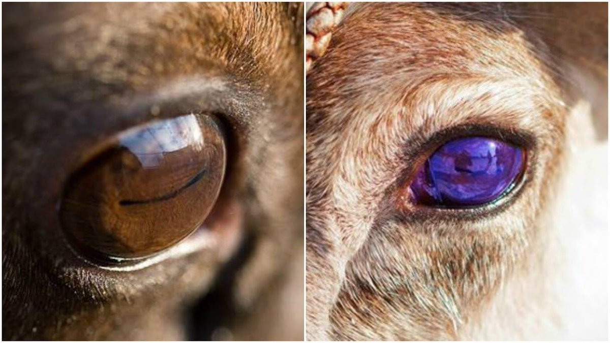 トナカイの目は冬以外は金色で、極夜が続く冬になると暗闇でも見やすいよう青色になる。季節に適応し目の色を変える動物はトナカイだけ。