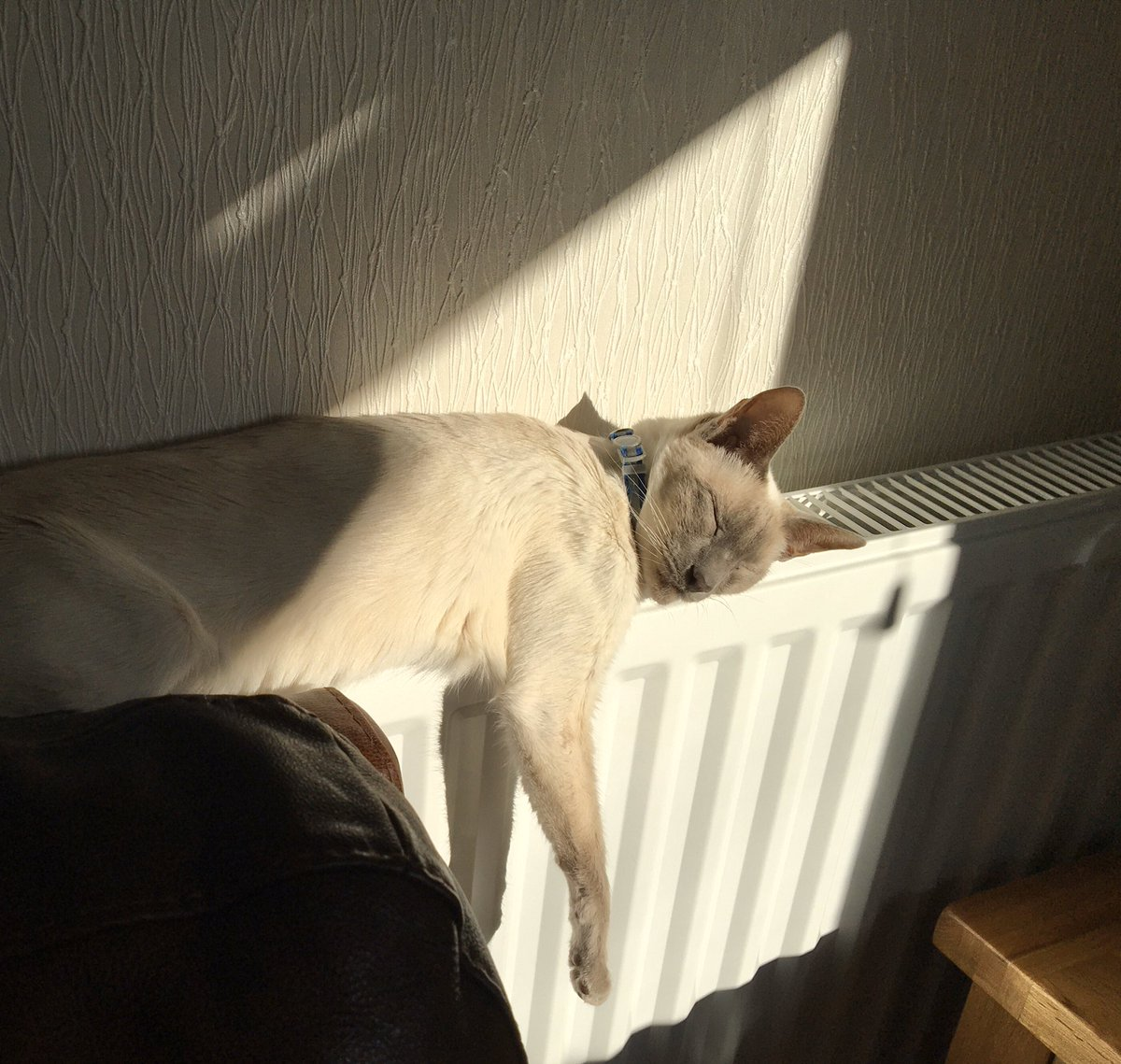 #ThursdayThoughts 🤔#SunPuddling combined with #RadiatorSurfing 🙄#HappyDays #Willow_i_am #TeamDiablo @jolenehunter #CatsOfTwitter #catsofinstagram