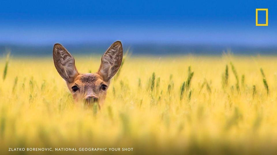 Your Shot photographer Zlatko Borenović documented this roe deer as it peeked out from high grasses