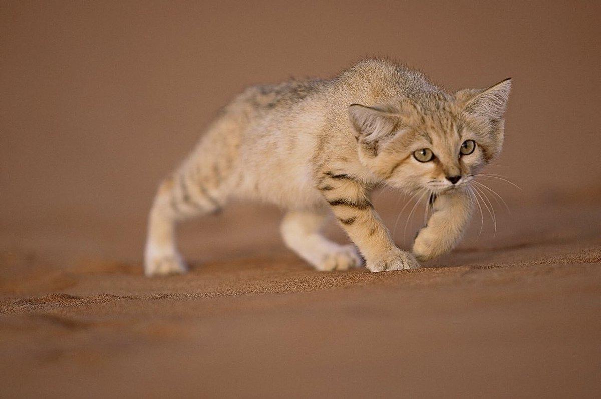 サハラ砂漠で撮影された野生のスナネコ、恐ろしくも可愛い
