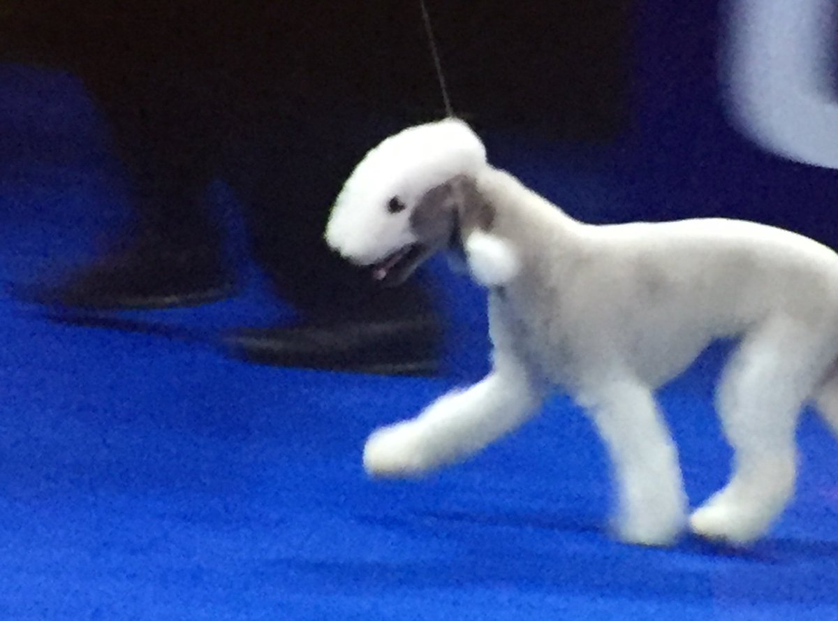 This dog with a mohawk and pom pom ears just flexed all over everyone #NationalDogShow
