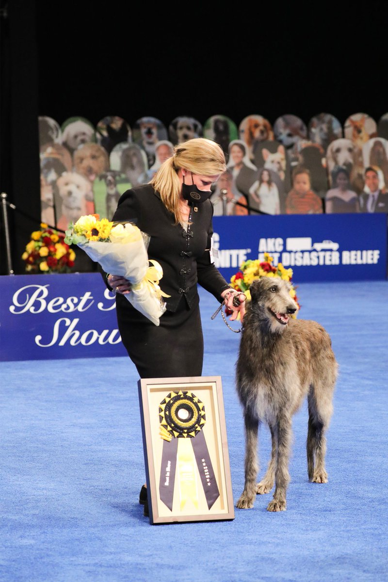 #DogNews: Scottish Deerhound wins Best in Show at 2020 #NationalDogShow. Video:   #scottishdeerhound #doglovers #cutedogs #dogshow #Victory #dogtreatsmart #HappyThanksgiving