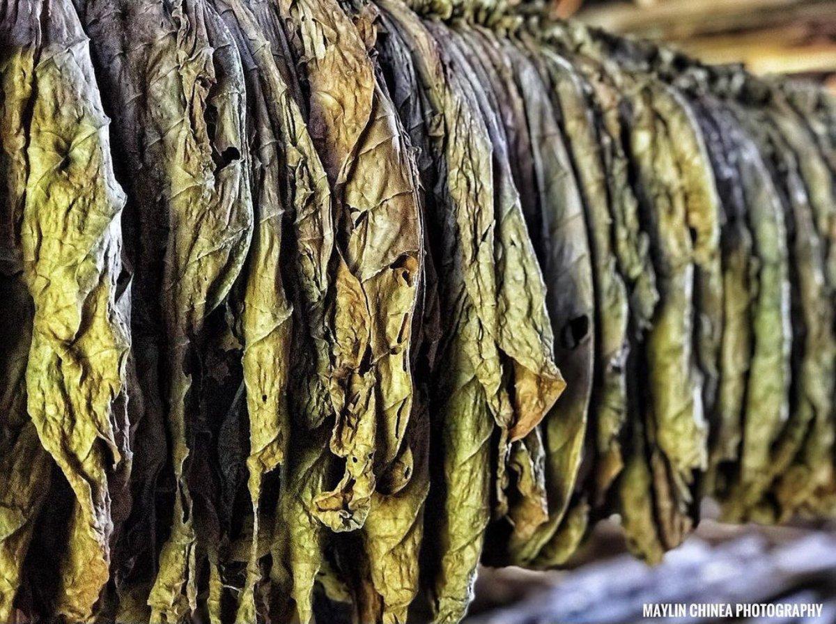 Hojas de Tabaco. Valle de Viñales, CUBA 🇨🇺🧑🏼🌾🍂  #viñales #viñalescuba #valleviñales #Cuba #pinardelrio #hojasdetabaco #procesodeltabaco #tabaco #habanos #photooftheday #photograghy #picoftheday