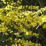 Did you know that Acacia ausfeldii, commonly known as Ausfeld's wattle or whipstick cinnamon wattle, is a Threatened Floral Species?⁠ More info > https://t.co/i08K5ceRt2