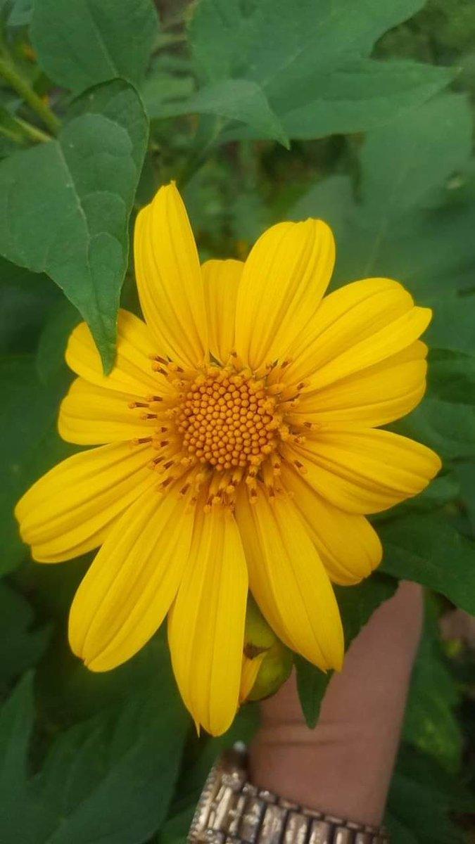 --November flower. Wild sunflower😎  📸Ate Flor  #Photography #PhotographyIsLife #PhotoOfTheDay #Yellow #Sunflower #Flower