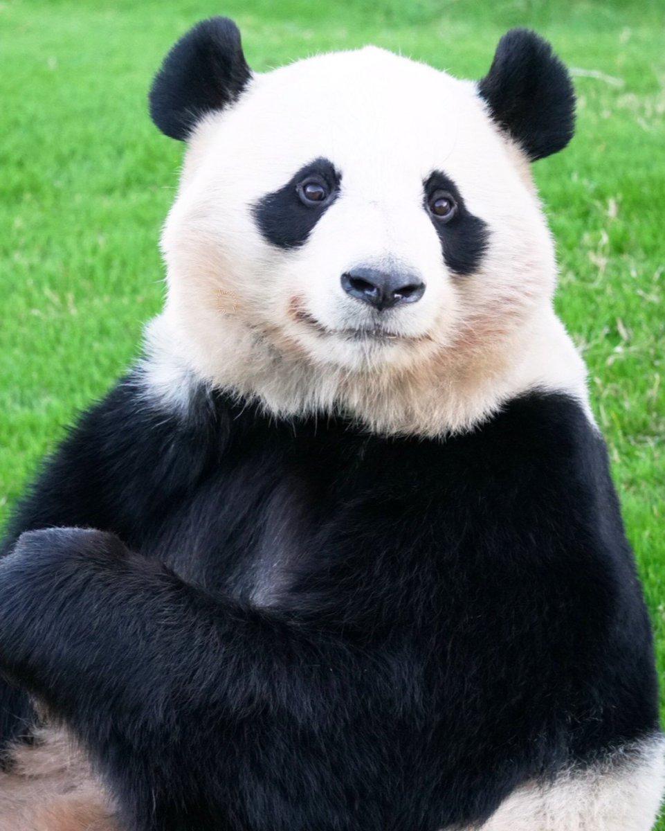 実は小顔。もふもふほっぺで大きく思われがちですが💦  桃浜🍑📷2020/10/25 #桃浜 #アドベンチャーワールド #giantpanda #パンダ #パンダ自身 https://t.co/TfIvjbGFyF