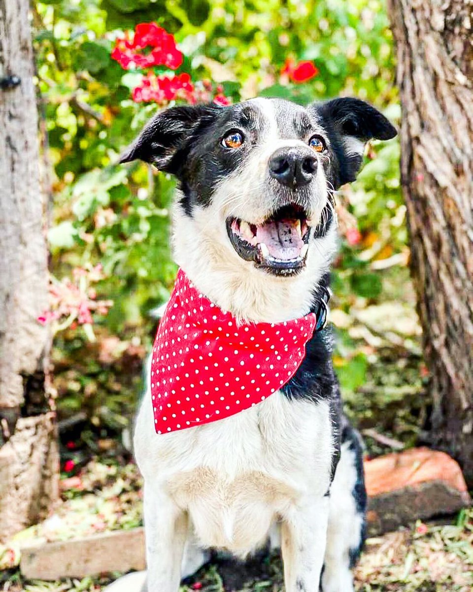 Meet Toby ! pawmodel for @moka_andco   Looking Dapper in his DogDana !  Save some $$ with TOBY10     #bordercollie #pawmodel #doglovers #dogbandana #bandana #smallbusiness #sydney #ShopLocal #dogsoftwitter