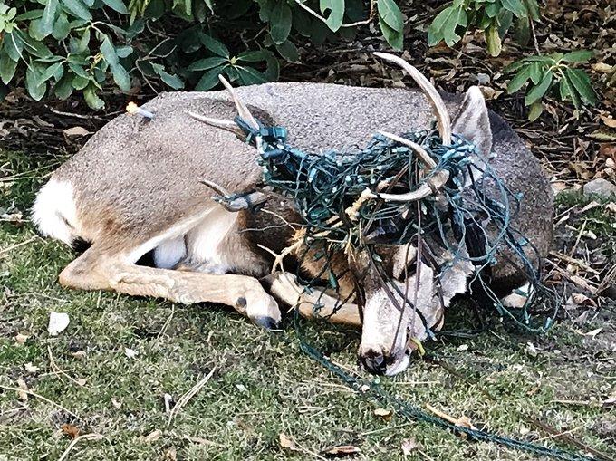 Cervo salvato dall'intrico di luce natalizia in Colorado