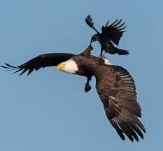 The only bird that dares to peck at an eagle is the crow.  However the eagle does not fight but opens its wings and flies higher - eventually the crow can't breathe and falls down.  Key learning - not all battles, arguments or critics need to be fought with or responded to.